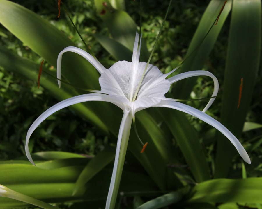 Hymenocallis caribaea