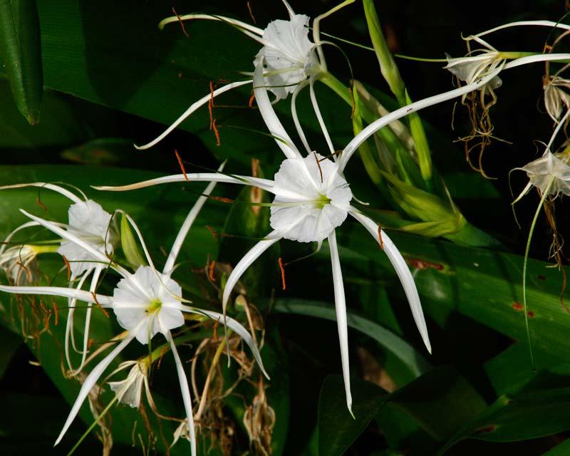 Hymenocallis caribaea, Caribbean spider-lily