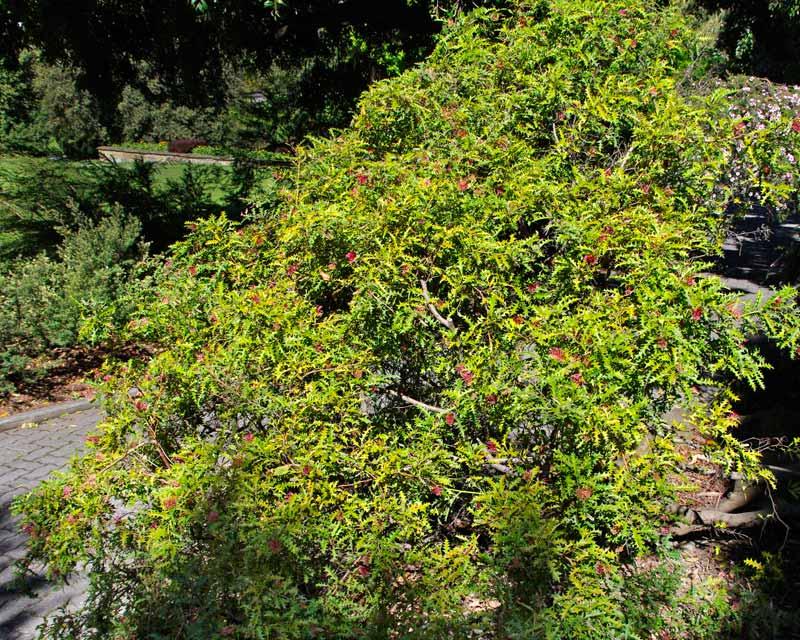 Grevillea aquifolium has varies growth habits - this is a bushy shrub