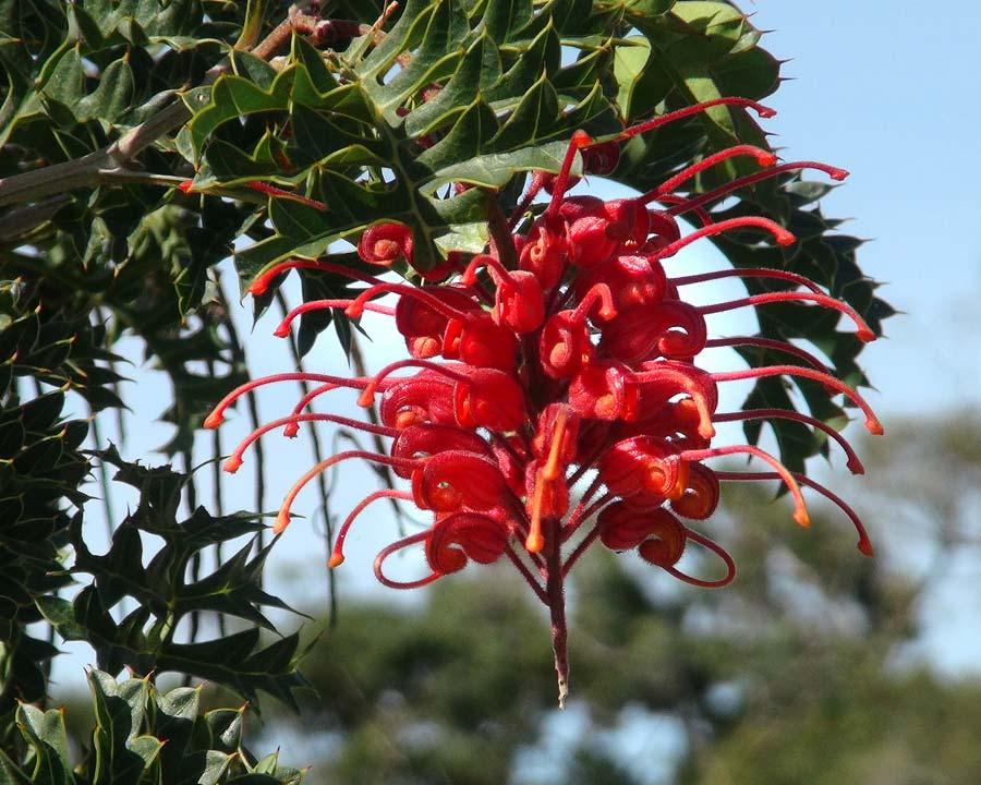 Grevillea bipinnatifida - the Fuchsia Grevillea