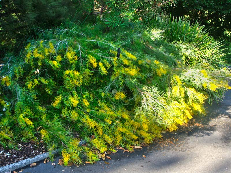 Gardensonline plant finder grevillea golden lyre prostrate shrub with yellow toothbrush flowers mightylinksfo