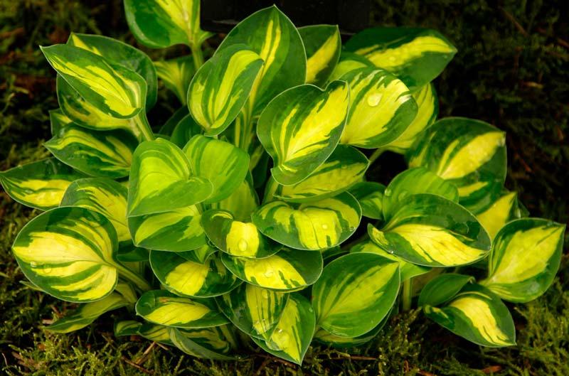 Gardensonline Hosta Small Cultivars