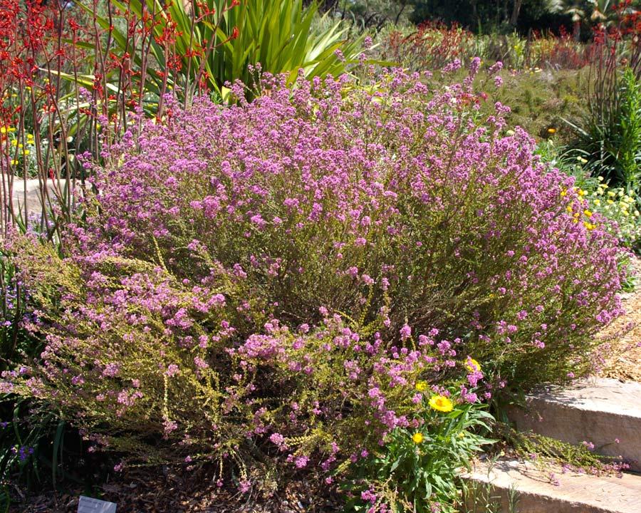Verticorda plumosa - Plumed Featherflower - masses of mauve flowers