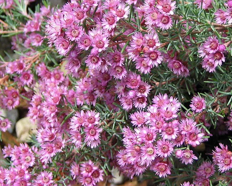 Verticordia Plumosa Plumed Featherflower