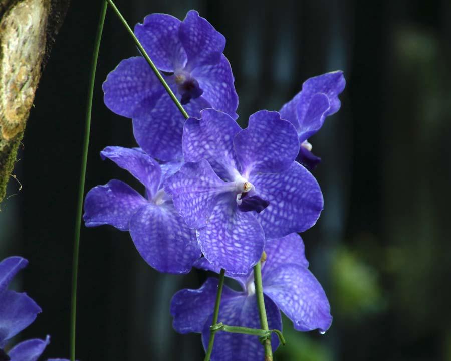 Vabnda orchid cultivar