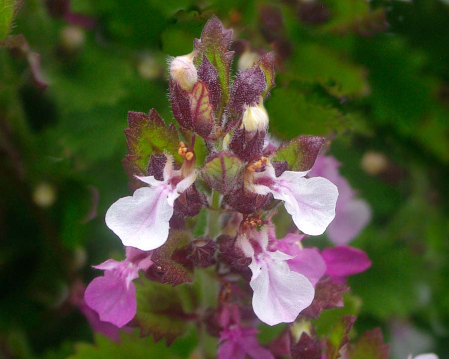 Teucrium chamaedrys - Wall Germander