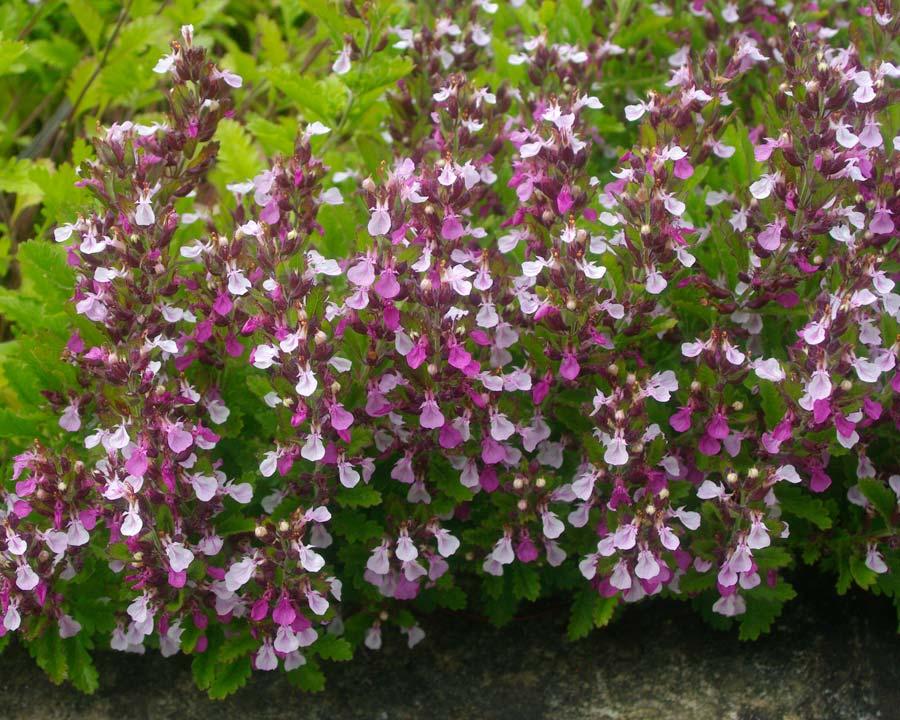 Teucrium chamaedrys, Wall Germander