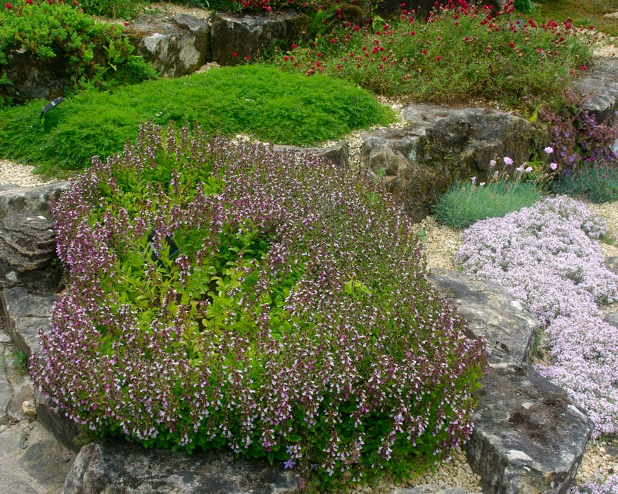 Teucrium chamaedrys - Wall Germander growing in the Rockery at Wisley UK
