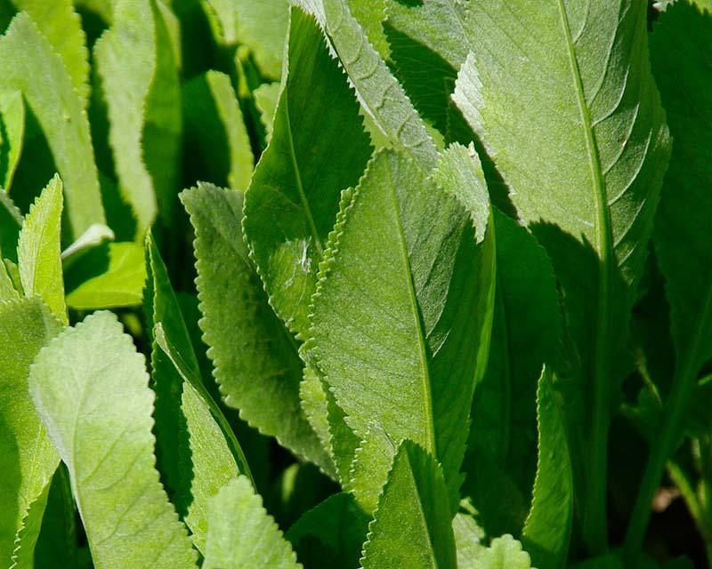 Tanacetum balsamita, or Costmary