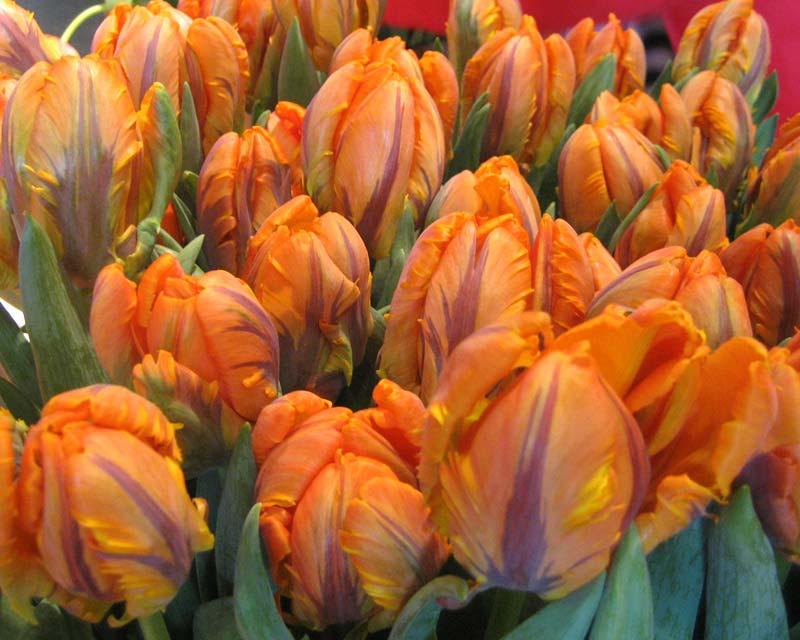 Tulipa Parrot Irene
