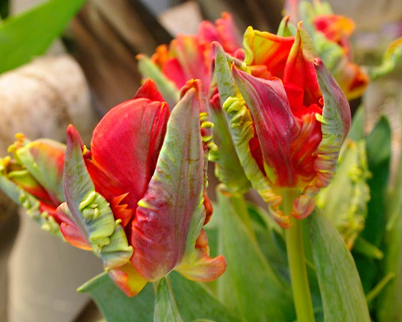Tulipa Roccoco, a hybrid in the Parrot category