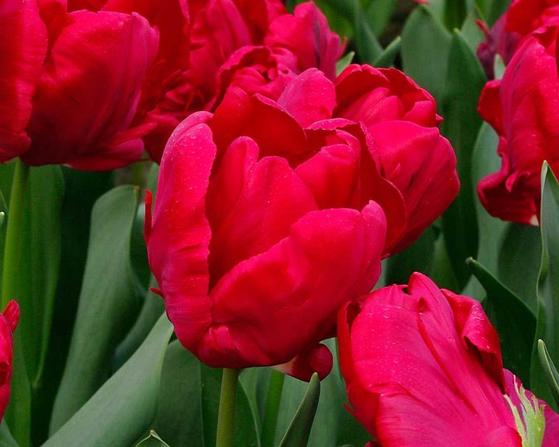 Tulipa Top Parrot