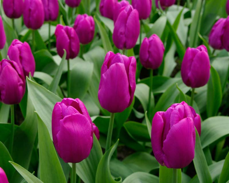 Tulipa Purple Prince, a hybrid in the Single Early category