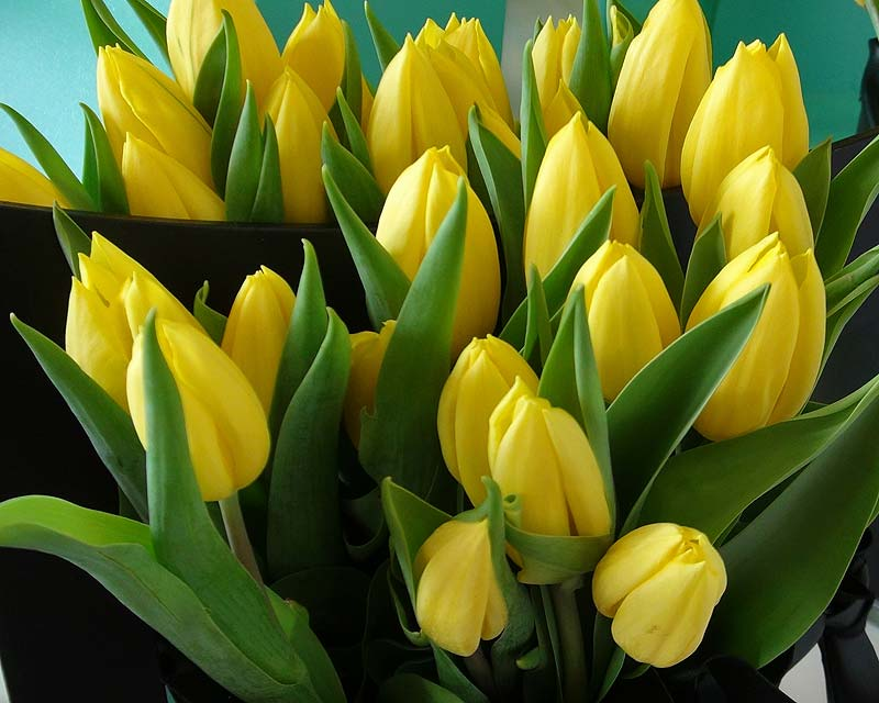 Tulipa Strong Gold, a hybrid in the Single Early category