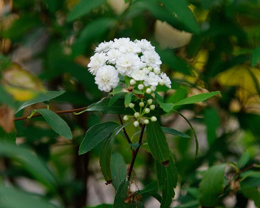 Spirae cantoniensis 'Lanceata' - the May Bush