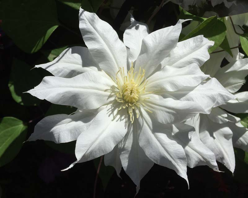 Gardensonline plant finder clematis arctic queen has large white double flowers group 2 mightylinksfo