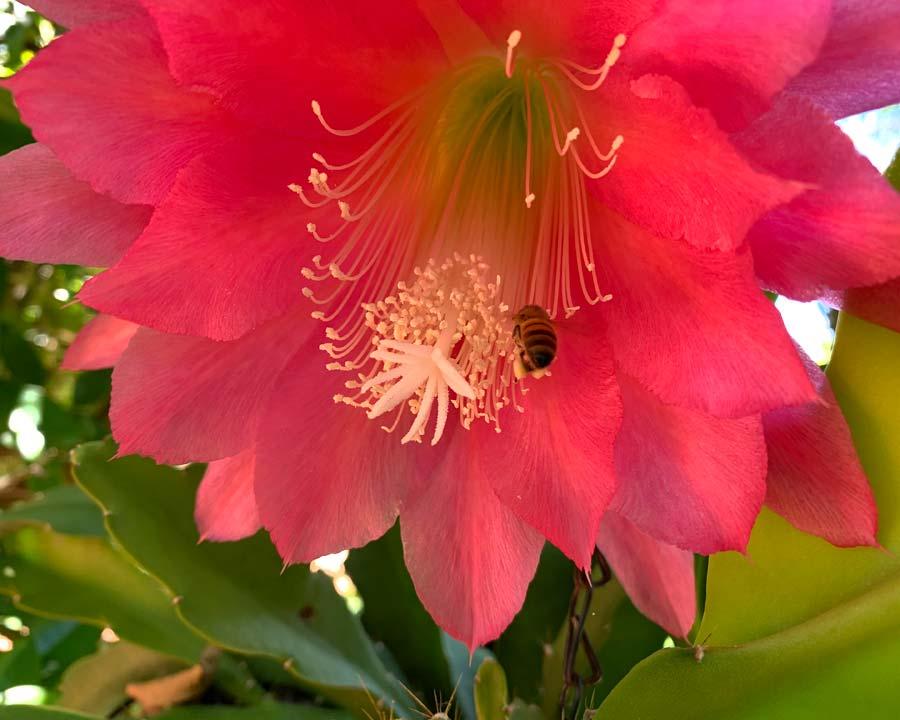 Epiphyllum hybrid
