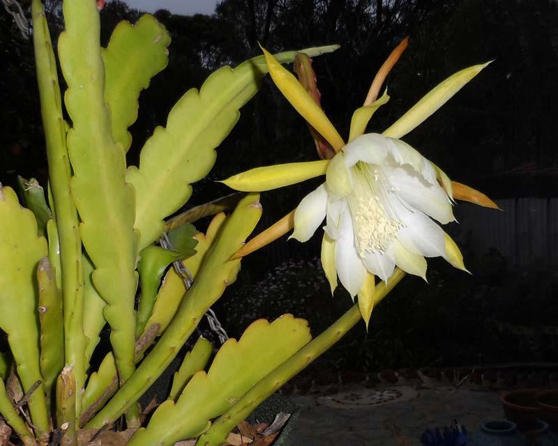 Epiphyllum hybrid white