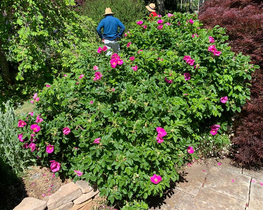 Rosa rugosa - medium size shrub with dense bushy habit. Long flowering season