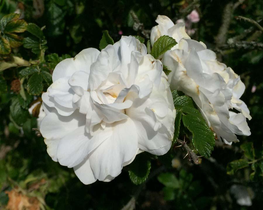 Rosa Rugosa Blanche Double de Coubert