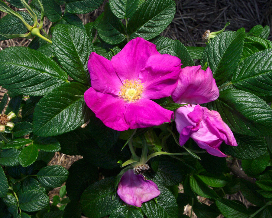 Rosa rugosa Scabrosa