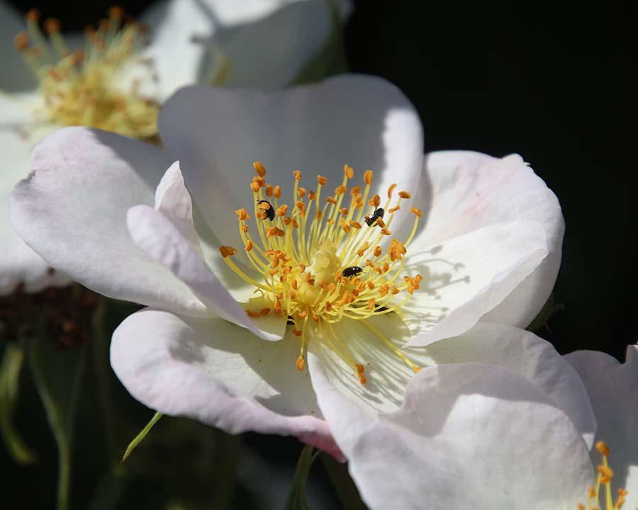 Rosa moschata Dupontii