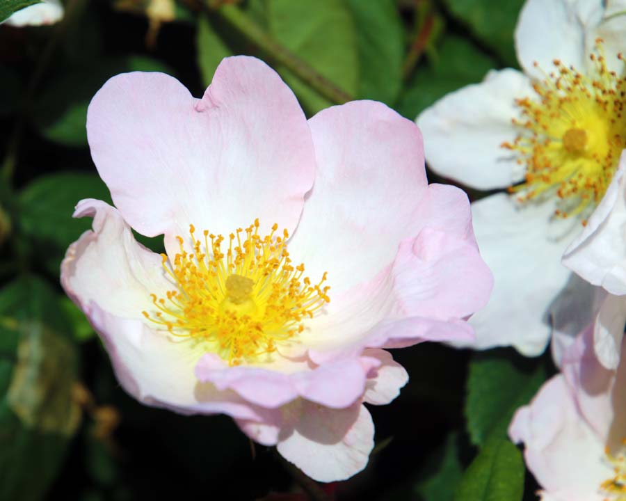 Rosa- sericea Pteracantha
