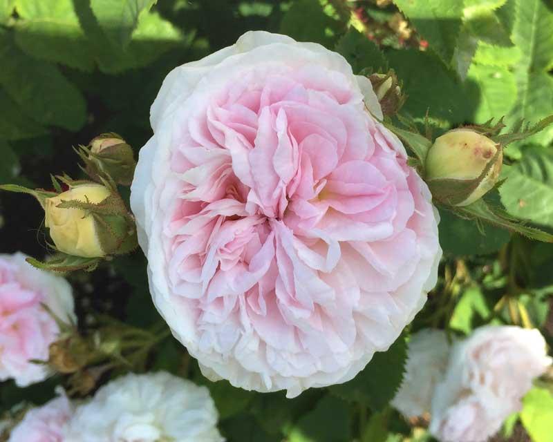 Rosa Alba x Damask Felicite Parmentier.