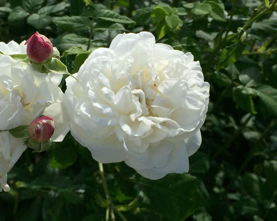 Rosa Alba Madame Plantier