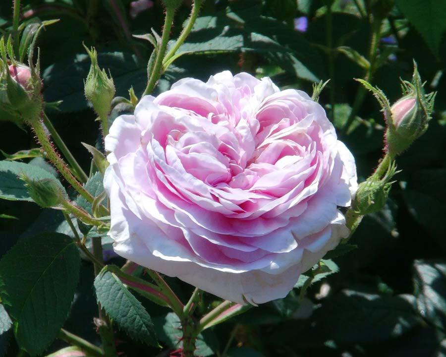 Rosa Alba Queen of Denmark