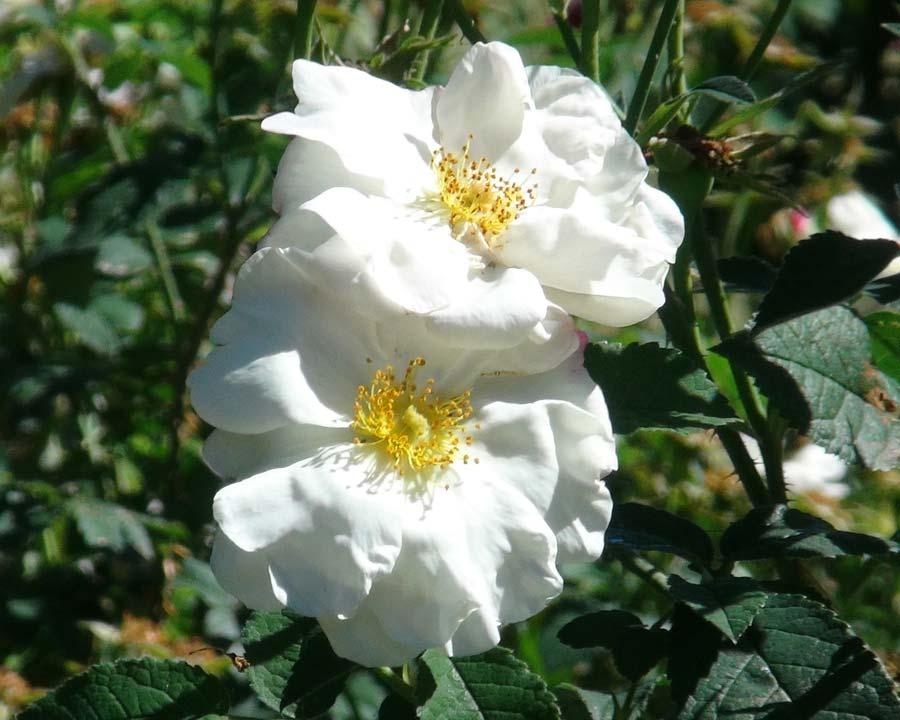 Rosa Damascena Hebes Lip