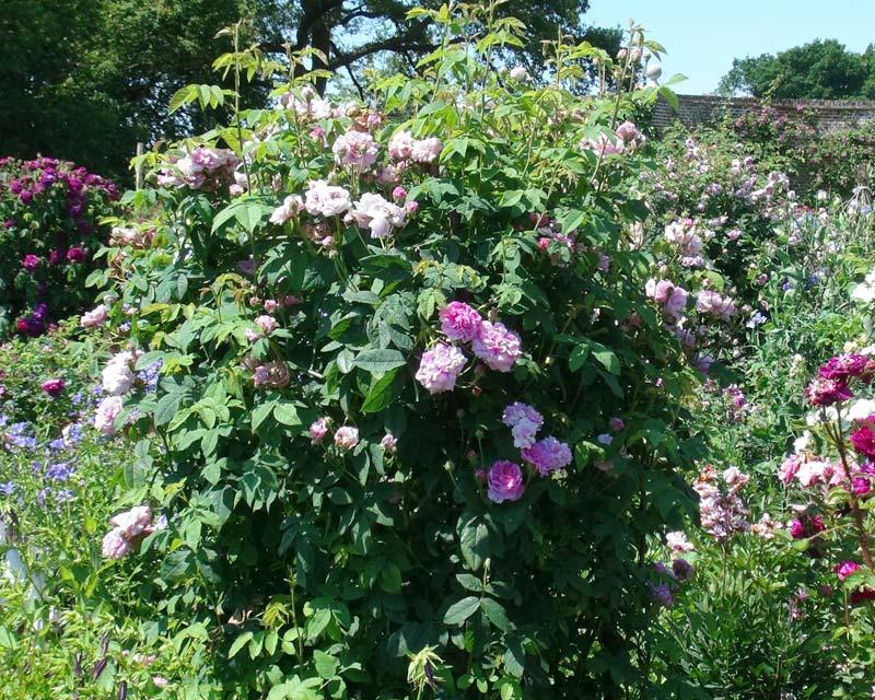 Rosa Damascena Ispahan - the Damask Rose