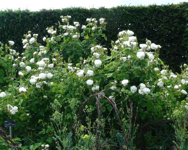 Rosa Damascena Madame Hardy - the Damask Rose