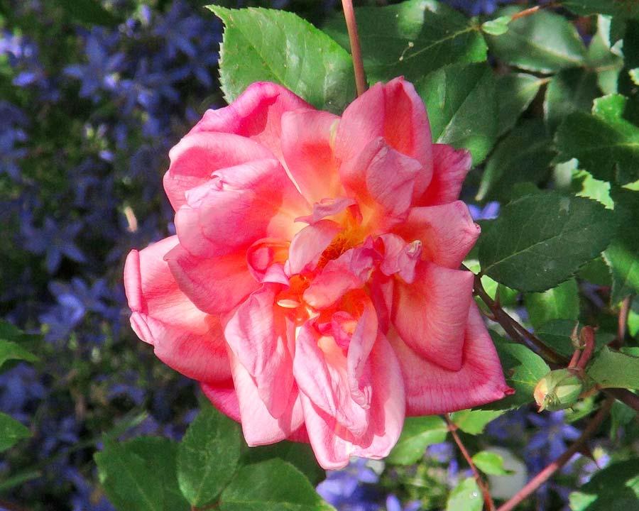 Rosa Chinensis Comtesse Du Cayla