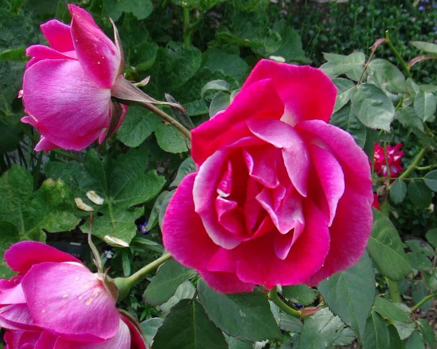 Rosa Chinensis Cramoisi Superieur