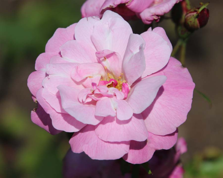 Rosa chinensis 'Old Blush' - sometimes known as 'Parson's Pink'