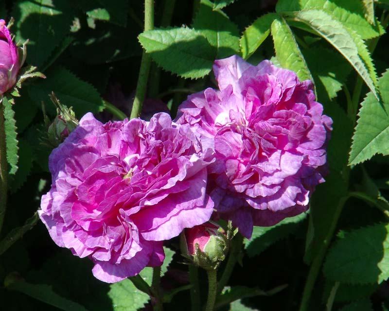 Rosa Gallica Belle De Crecy