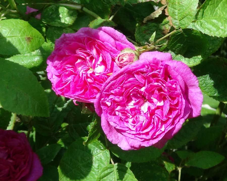 Rosa Gallica Surpasse Tout