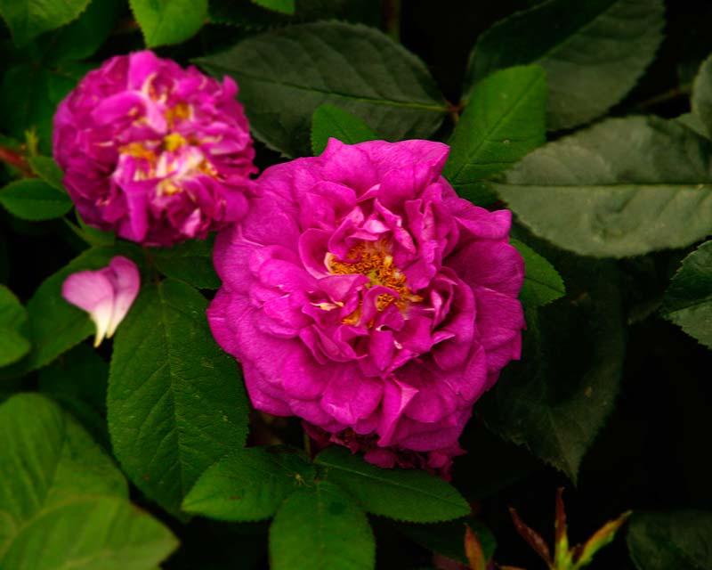 Rosa Gallica Tuscany Superb