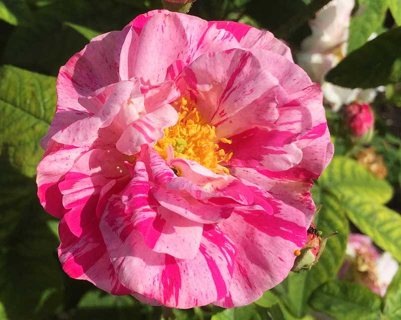 Rosa Gallica Versicolour