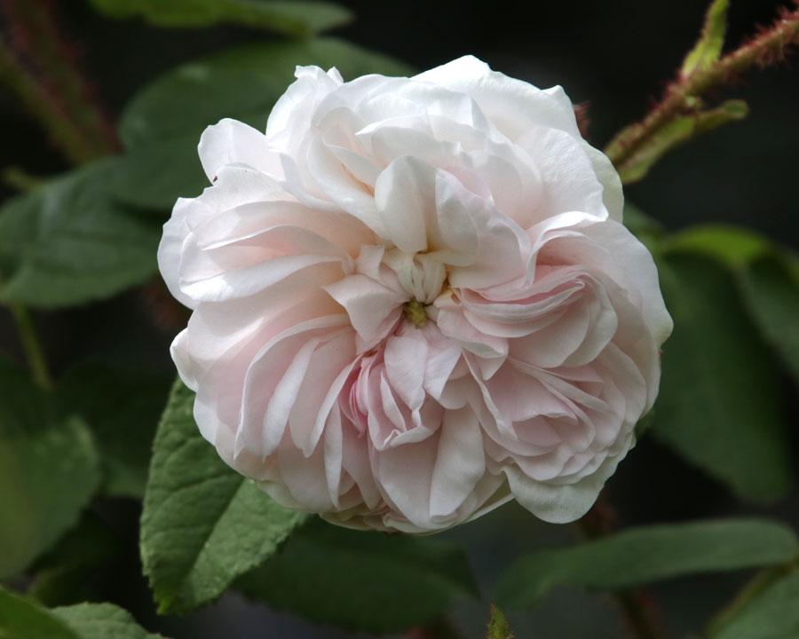 Rosa Moss 'Comtesse de Murinais'