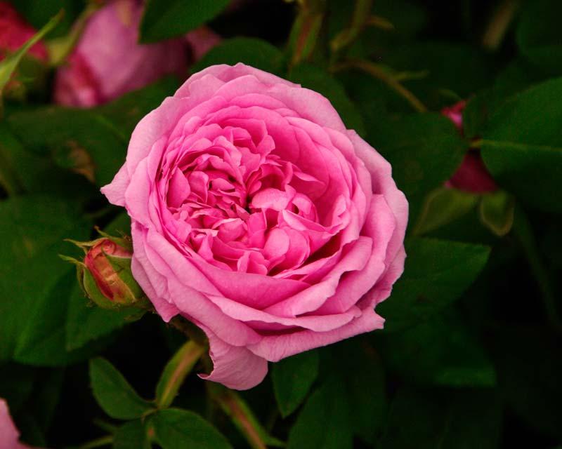 Rosa Portland 'Comte De Chambord'