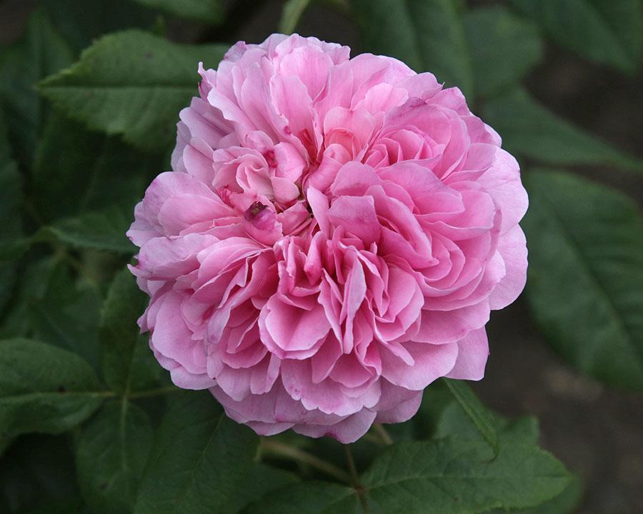 Rosa Portland 'Jacques Cartier'
