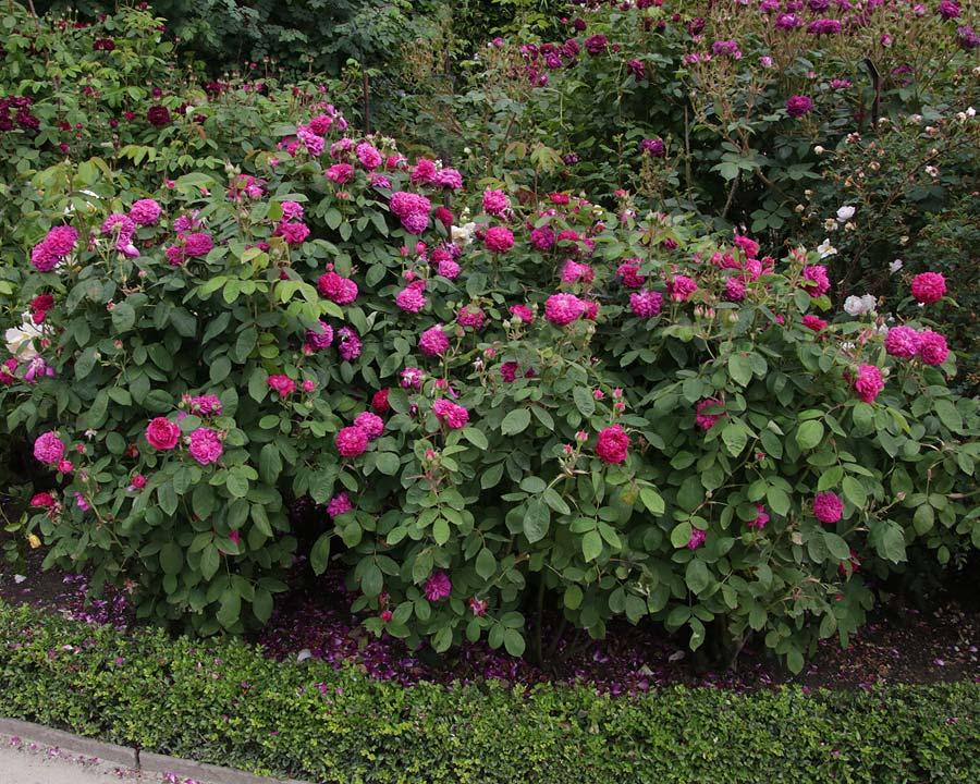 Rosa Portland 'Rose de Rescht'
