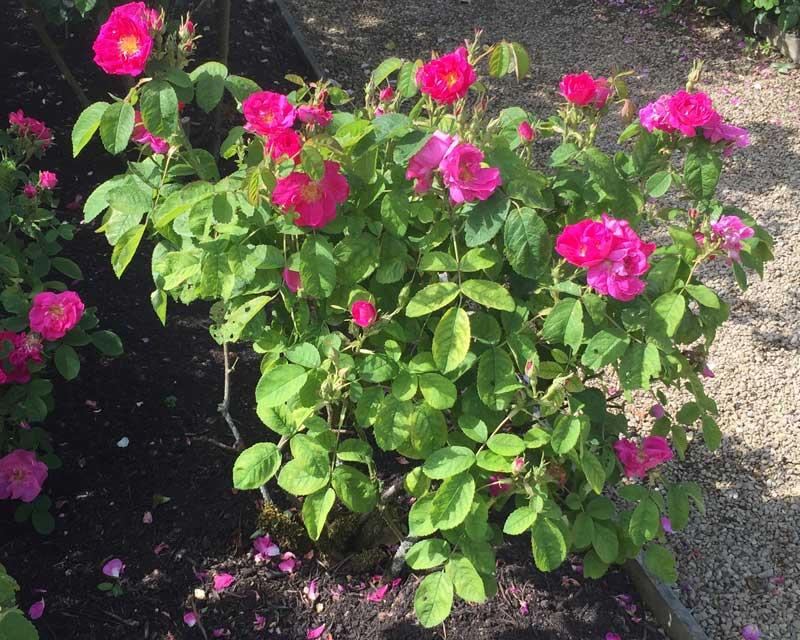 Rosa Portlandica, The Portland Rose