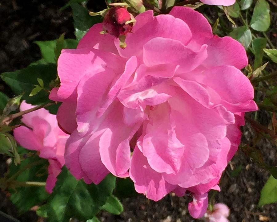 Rosa x Odorata Pallida Old Blush China