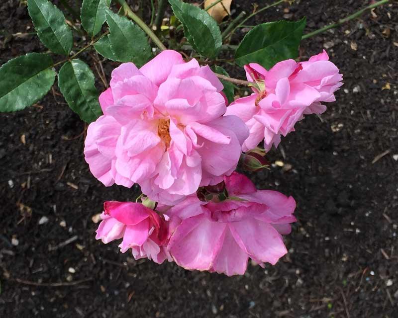 Rosa X Odorata, Pallida Old Blush circa 1793