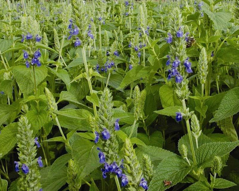 Salvia hispanica, Chia