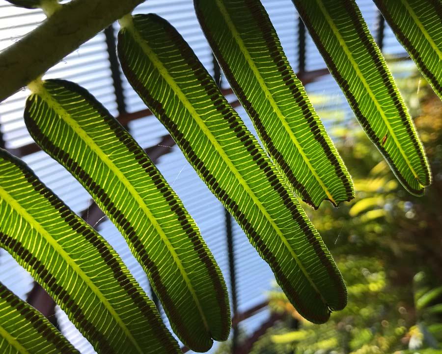 Angiopteris evecta  foliage