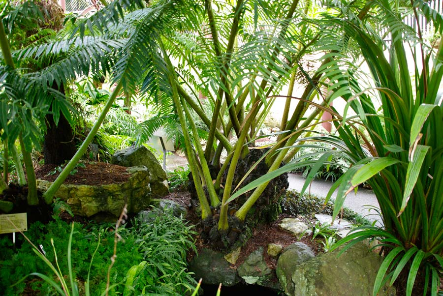 Anigopteris Evecta, Giant Fern as seen in Sydney Botanic Gardens Fernery